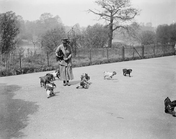 Band of canine aristocrats in Kensington Gardens  Miss Aleen Cust the well known breeder of Cocket Cocker spaniels, taking some of these little dogs for an airing in Kensington Gardens,London  5 May 1923
