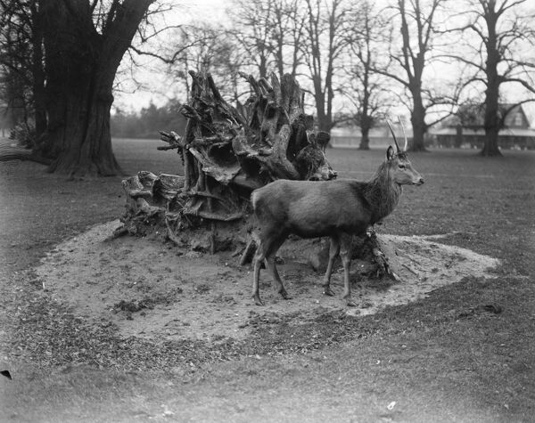 Bushey Park, United Kingdom.  A deer surveys the wondrous scene as a result of the gale, peace after the storm.  12 January 1920