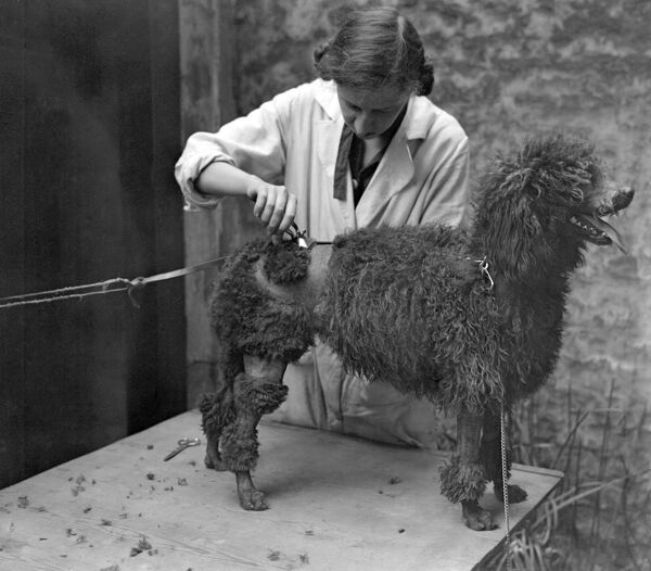 At a canine beauty parlour, Knightsbridge, London. Preparing dogs for a show. Clipping a poodle.   1 May 1928