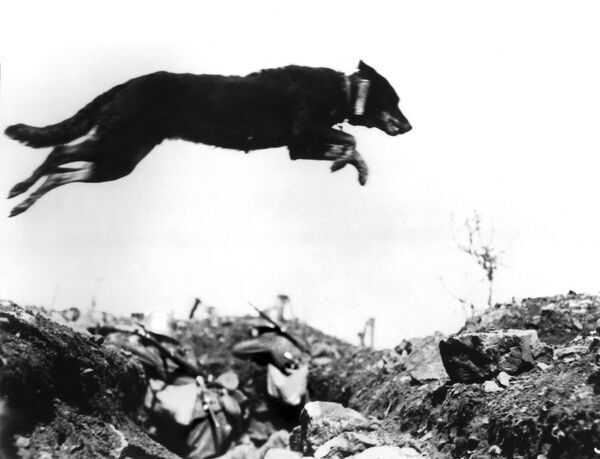 A dog leaping a trench in the battlefields of World War I. The message carrier, holding vital military information, is attached to the dog's collar. May 1917