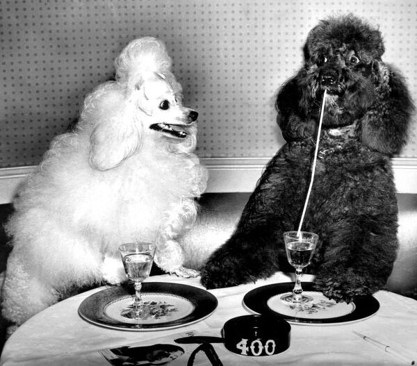 Dog socialites Candide and Koko on right have a dinner martini at the 400 Restaurant where they performed in the current drive for funds for the New York Lighthouse Association for the Blind