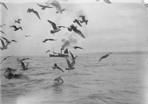 A flock of gulls chase for scraps from the herring boats from Scarborough fishing in North Sea  1931 Fish where the fish are!