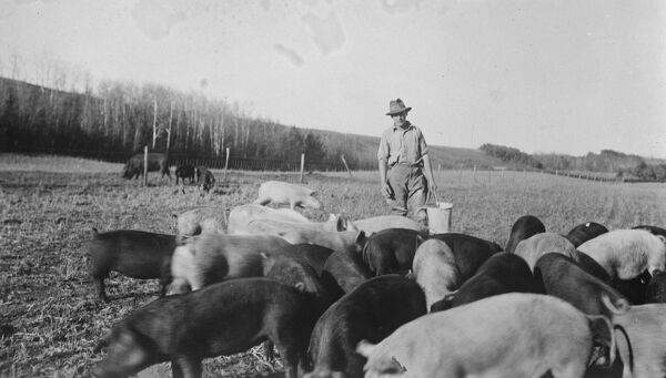 Food from the hands of a Lord  A new picture, taken on the farm of Lord Rodney, on the Saskatchewan River, 25 miles east of Edmonton, Alberta, showing Lord Montague, son of the Duke of Manchester, about to feed the pigs.   30 November 1925