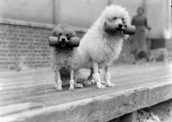 The Associated Sheep, Police and Army Dog Society's Show is taking place at the Crystal Palace. Photo shows Mrs Grace Boyd's poodles holding dumb-bells in the obedience tests. October 24th 1935