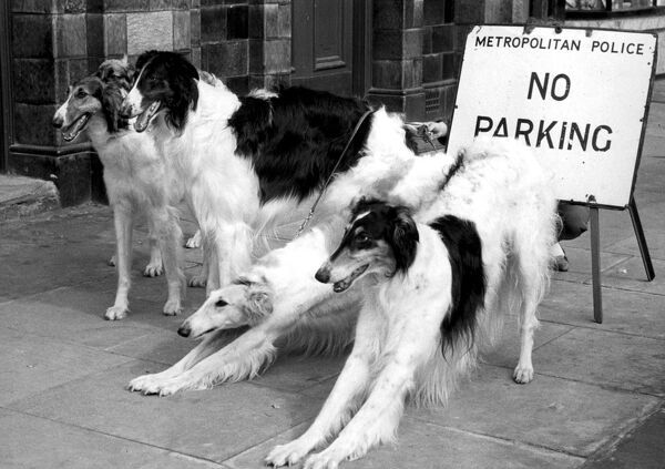Ladies' Kennel Association Championship Show.  These elegant Borzois (Dogs) settle themselves for brief siesta alongside the 'No Parking' sign outside Olympia, London. Owners Miss Marion Willis of Thornton Heath, Surrey, and Miss Pat Douglas of Coulsdon