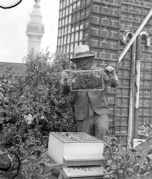 Mr C Keene his face masked with a frame of his bees in the garden on the roof of Adelaide House London August 5th 1937
