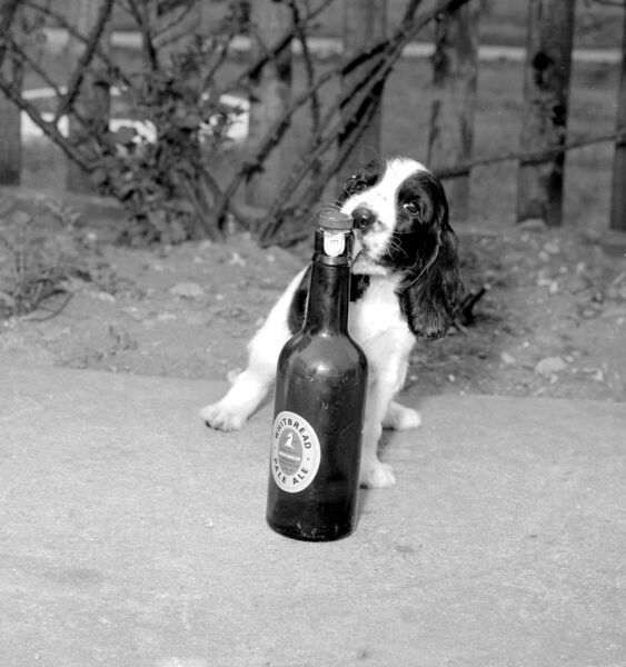 Give Me Pale Ale anytime says this spaniel. April 1958