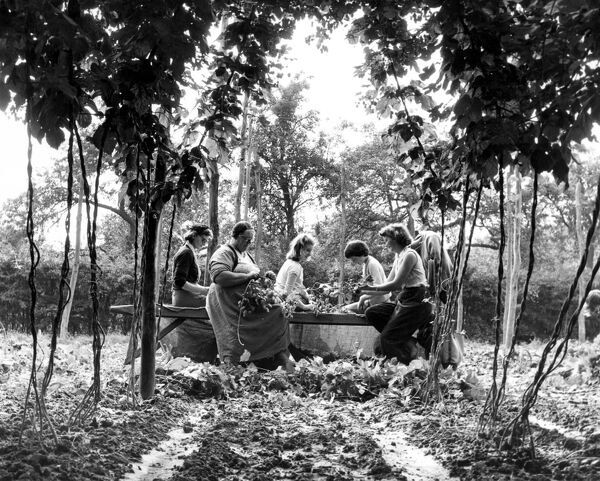 A party of hop pickers on a farm near the village of Paddock Wood in Kent.  9th September 1958