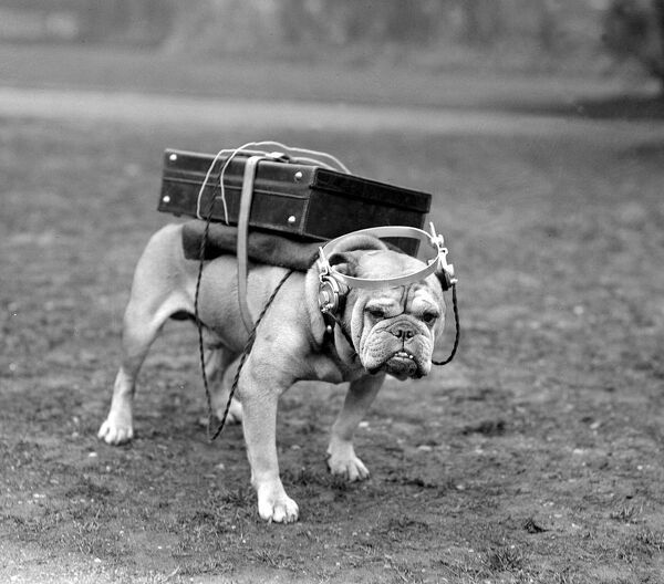 Portable wireless! Typical British bulldog is quite content with his Marconi receiving set and headphones.1922