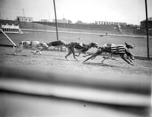 Preparing for the opening of the New Greyhound Racing Track at Harringay. Fine action picture during trials. 23rd August 1927