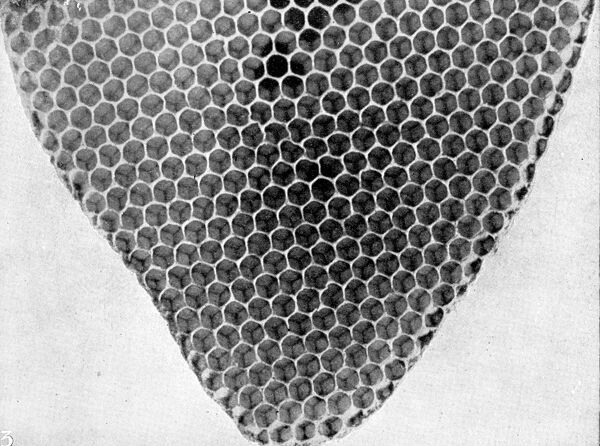 The Queen 's Eggs : Legs as pollen carriers : the making of combs : Bees .   The tip lengthening out and the body widening : how the comb grows, much as does a plant .   27 June 1912