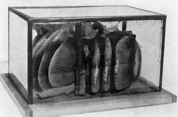 The Queen ' s Eggs : Legs as pollen carriers : the making of combs : Bees .   for the observer of bees : A comb in a travelling hive made of five sheets of glass held together by narrow binding .   22 June 1912