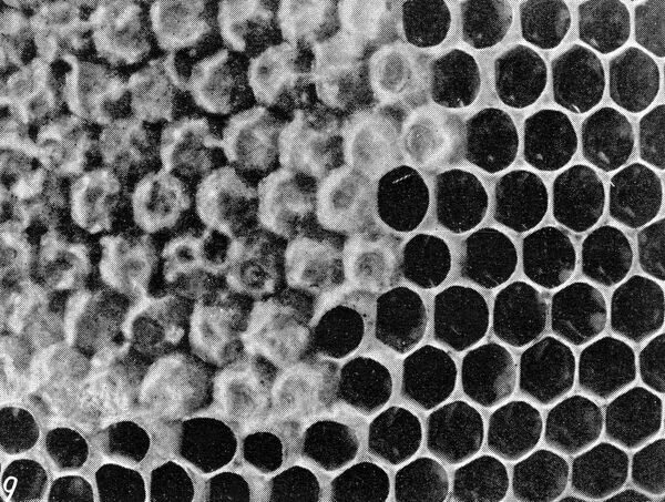 The Queen ' s Eggs : Legs as pollen carriers : the making of combs : Bees .   To show that the capping is from the lower side : A honeycomb in the making .   27 June 1912