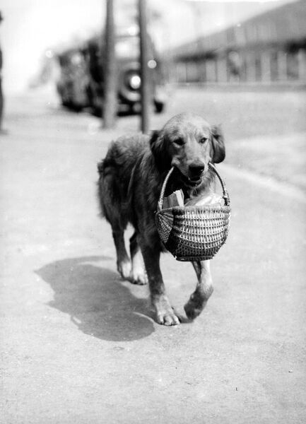 SANDY, an 18 month old Golden Retriever, is placidly homeward bound as he is photographed here, teeth clamped into the wicker basket which contains the family joint. Owned by Mr F C Clarke of Bedminster, Bristol, the dog is uniquely tempttion-resistant