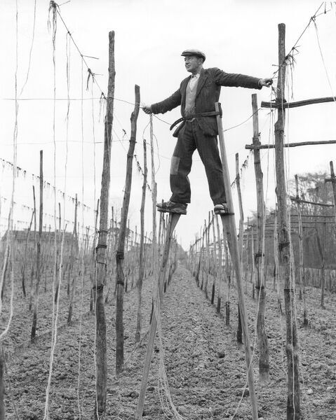 Stilt walker at work in Kent hopfields tying up the string on which hop bines will climb 16th April 1956