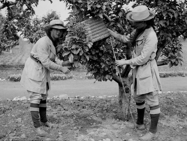 Swanley Horticultural College .   Taking a swarm of bees .  1930's