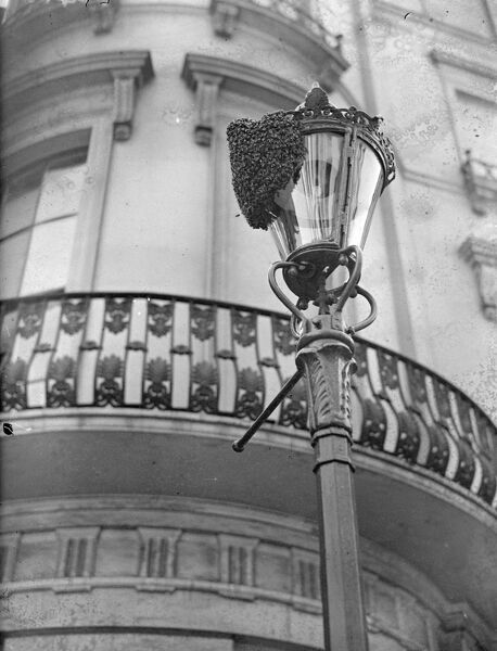 A swarm of bees on the lamppost in Westbourne Crescent, Bayswater. Somebody remember that a Post Office engineer of the new Moscow Road exchange was a beekeeper. The engineer Mr R Ainslie of Ealing answered the appeal, removing the swarm by hand