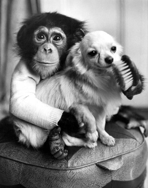 Ten-month old chimpanzee Casey caught playing court to Caesar, a champion Chihuahua. He is helping prepare him for next month's Crufts Dog Show. Miss Olga Denver, the dog's owner, adopted the chimp when he arrived from the African Congo. The chimp