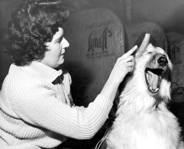 Xanadu of Carloway an Afghan Hound Dog being groomed by owner Mrs G Taylor of Esher Surrey at Crufts Dog Show Olympia London 9th February 1962