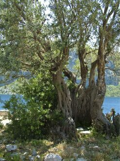 Ancient olive tree, on tiny island off southern Turkish coast. credit: Marie-Louise