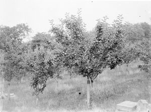 Apple tree laden with fruit. 1935