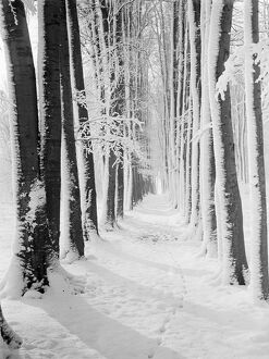 The beeche tree avenue at High Elms in Kent covered in snow. 1939