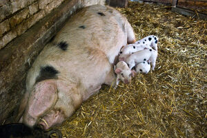 Betty the Gloucester Old Spot sow with her eight new piglets, four and a half days old