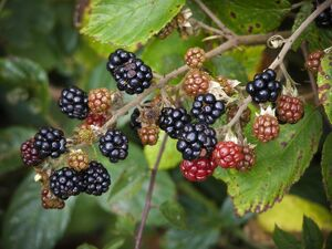 Blackberries ripening in Kentish hedgerow credit: Marie-Louise Avery / thePictureKitchen