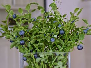 Blueberries on their stems picked as a bouquet in glass vase in Swedish interior credit