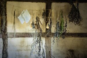 Bunches of fresh herbs hanging in the interior of fifteenth century cottage at Singleton