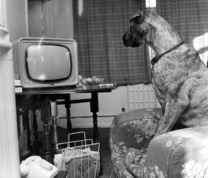Canine Film Star. British number one beautiful brown eyed Great Dane called Junie
