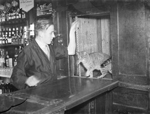 Cat in dumbwaiter at public house in Bellingham , London . 1939
