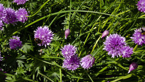 Chive flowers growing in garden with bees. credit: Marie-Louise Avery / thePictureKitchen