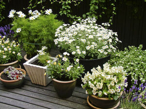 Collection of mostly white container plants on deck in high summer credit: Marie-Louise