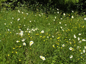 Daisies and buttercups in long grass in churchyard. Sussex, England UK credit