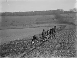 Digging up parsnips in Kent. 1937