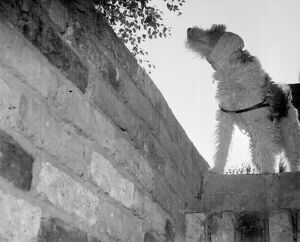 Dog with his ears bandaged against the noise of the bombs goes down into the air