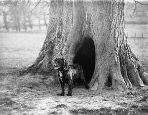 Dog in front of its tree kennel at Penshurst 1933
