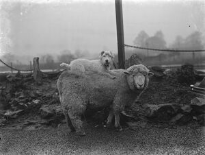 A ewe with her dog friend on her back in West Malling. 1937