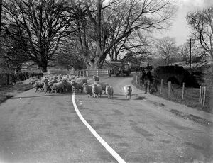 Flock of sheep in a country road in Kent
