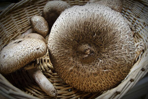 Freshly collected Agaricus augustus, also known as 'the Prince', a mushroom of the