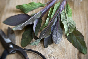 Freshly cut sprig of purple sage leaves on old wooden surface, with Japanese scissors
