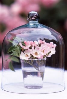 Glass of pink single petalled dog roses displayed under glass dome credit: Marie-Louise