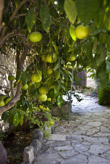 Grapefruits growing in courtyar of house in Psematismenos, Cyprus credit: Marie-Louise