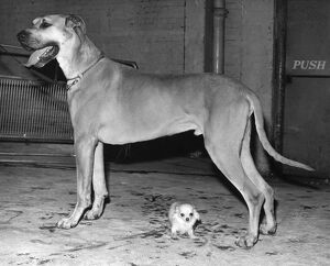 dogs life/great dane chihuahua largest smallest breeds