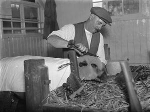 Harry Wadman trimming a sheep for a show. 1937