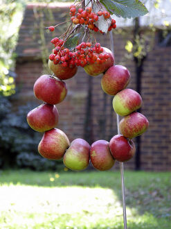 Harvest wreath of red apples strung on wire into a circle and decorated with bunches
