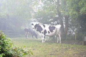 Holstein black and white heffers in wooded countryside on a misty autumn morning in Kent