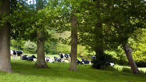 Holstein cows grazing on hilly field on organic farm in the weald of Kent UK credit