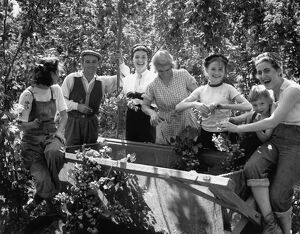 Hop Picking fun for all the family. Young and old pick hops by the binful. 1950s